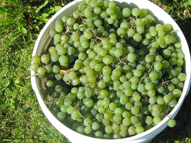 Des raisins à maturité
